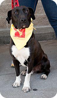 Labrador Retriever Mix Dog for adoption in Loudonville, New York - Gentry