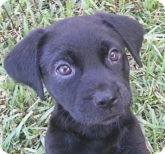 Labrador Retriever Mix Puppy for adoption in Orlando, Florida - Darcy#3F