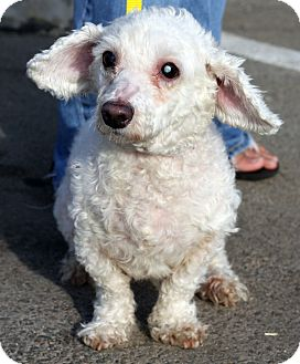 Poodle (Miniature) Mix Dog for adoption in Los Angeles, California - DELORES