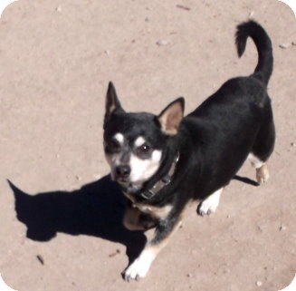 Dachshund/Chihuahua Mix Dog for adoption in Pie Town, New Mexico - LOLITA