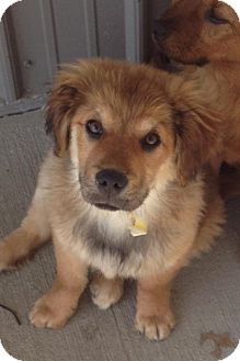 German Shepherd Dog Mix Puppy for adoption in Vandalia, Illinois - Sebastian