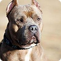 Adopt A Pet :: Beau - New Canaan, CT