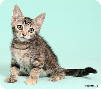 Domestic Longhair Kitten for adoption in Las Vegas, Nevada - Thistle