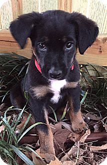 Rottweiler/German Shepherd Dog Mix Puppy for adoption in Somers, Connecticut - Monroe