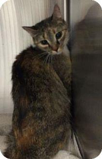 Domestic Mediumhair Cat for adoption in Parma, Ohio - Vertigo