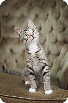 Domestic Shorthair Kitten for adoption in Detroit Lakes, Minnesota - Flash