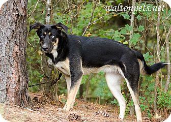 Husky/Shepherd (Unknown Type) Mix Dog for adoption in Monroe, Georgia - KAHLUA