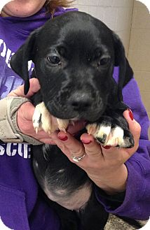 Labrador Retriever Mix Puppy for adoption in Greensburg, Pennsylvania - Blanch