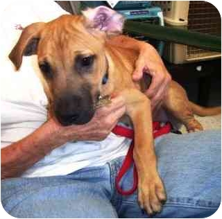 Shepherd (Unknown Type) Mix Puppy for adoption in Scottsdale, Arizona - Lumpy