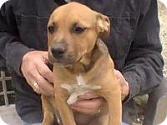 Labrador Retriever/Australian Cattle Dog Mix Puppy for adoption in Minneapolis, Minnesota - Sara