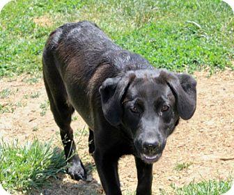 Labrador Retriever/German Shepherd Dog Mix Puppy for adoption in Liberty Center, Ohio - Maggy