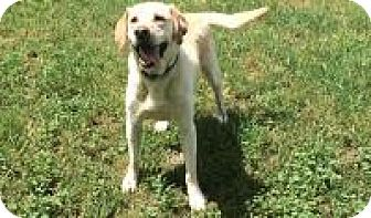 Labrador Retriever Dog for adoption in Gridley, California - Rex