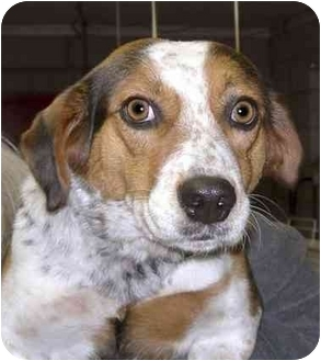 Beagle Mix Dog for adoption in Rolling Hills Estates, California - Cookie