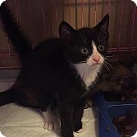 Adopt A Pet :: Lots of Kittens - Clay, NY