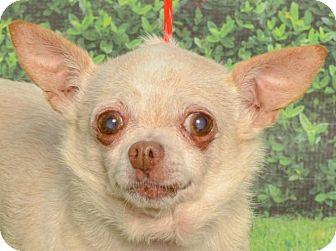 Chihuahua Mix Dog for adoption in Kalamazoo, Michigan - Minnie