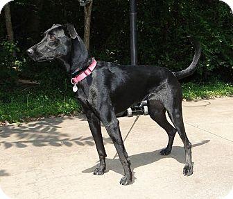 Labrador Retriever Mix Dog for adoption in Brattleboro, Vermont - Suki