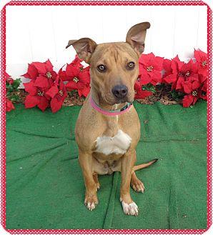 Boxer Mix Dog for adoption in Marietta, Georgia - DIXIE - available 12/10