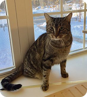 Domestic Shorthair Cat for adoption in Peace Dale, Rhode Island - Amy