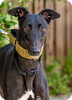 Greyhound Dog for adoption in Walnut Creek, California - True
