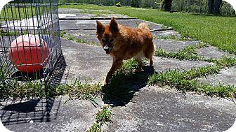 Pomeranian/Poodle (Miniature) Mix Dog for adoption in Port Clinton, Ohio - PRINCESS