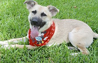 German Shepherd Dog/Shepherd (Unknown Type) Mix Dog for adoption in Wilwaukee, Wisconsin - A - ANGEL