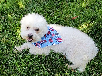 Bichon Frise Dog for adoption in Marina del Rey, California - Chanel