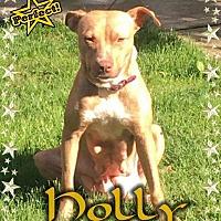 Adopt A Pet :: Holly - Valley Stream, NY