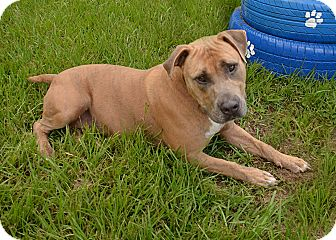 Pit Bull Terrier Mix Dog for adoption in Brooksville, Florida - 1026075 TANK