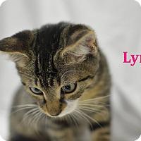 Adopt A Pet :: Lynx - Miami Shores, FL