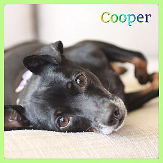 Dachshund Mix Dog for adoption in Hollywood, Florida - Cooper