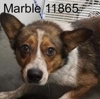 Sheltie, Shetland Sheepdog/Australian Cattle Dog Mix Dog for adoption in Manassas, Virginia - Marble
