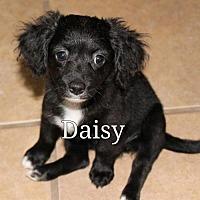 Adopt A Pet :: Daisy - Spring, TX