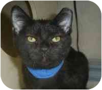Domestic Shorthair Cat for adoption in Louisville, Kentucky - Ringo