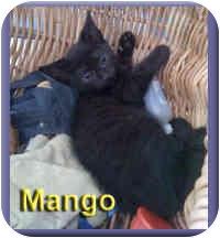 Domestic Shorthair Kitten for adoption in Aldie, Virginia - Mango
