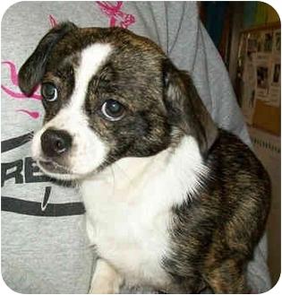 Chihuahua/Boston Terrier Mix Dog for adoption in Murphysboro, Illinois - Nell