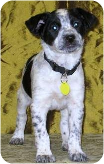 Boxer/Australian Cattle Dog Mix Puppy for adoption in Westminster, Colorado - WILLIAMS