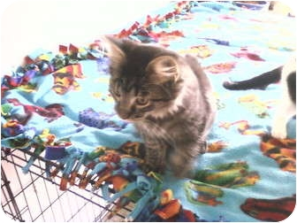 Domestic Longhair Kitten for adoption in Bay City, Michigan - Smokey