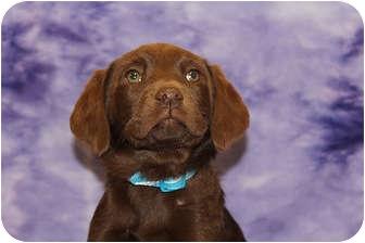 Labrador Retriever/Airedale Terrier Mix Puppy for adoption in Broomfield, Colorado - Emerald
