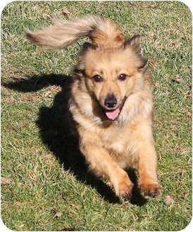 Sheltie, Shetland Sheepdog/Dachshund Mix Dog for adoption in Sacramento, California - Sydney