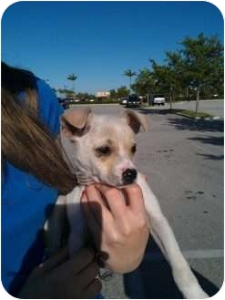 Terrier (Unknown Type, Small) Mix Puppy for adoption in Homestead, Florida - Riley