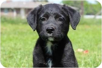 Labrador Retriever/Boxer Mix Puppy for adoption in Spring Valley, New York - Lucky