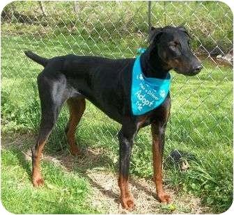 Doberman Pinscher Dog for adoption in New Richmond, Ohio - Degen--adopted!!