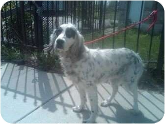 English Setter Dog for adoption in Wood Dale, Illinois - Maybelline-ADOPT PEND!