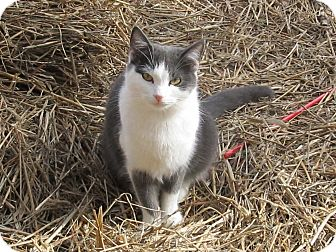 Domestic Shorthair Cat for adoption in Bedford, Virginia - Chrissy