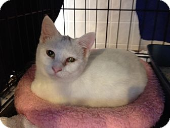 Domestic Shorthair Cat for adoption in Byron Center, Michigan - Makenna