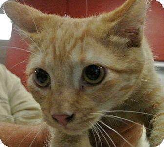 Domestic Shorthair Cat for adoption in white settlment, Texas - Romo