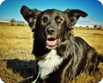 German Shepherd Dog/Border Collie Mix Dog for adoption in Cheyenne, Wyoming - Bear