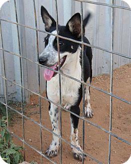 Australian Cattle Dog/Australian Kelpie Mix Puppy for adoption in Snyder, Texas - Laramie