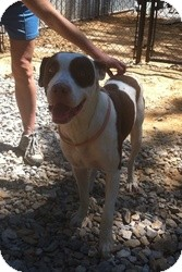 American Pit Bull Terrier Dog for adoption in Princeton, Kentucky - Chevy