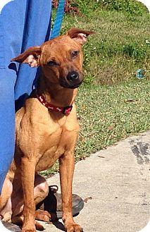 Miniature Pinscher Mix Dog for adoption in St. Petersburg, Florida - Rusty